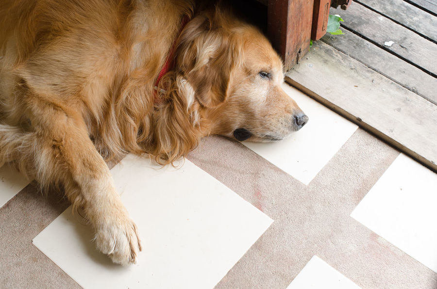 cute Golden Retriever Animal Themes Close-up Day Dog Domestic Animals Golden Retriever High Angle View Lying Down Mammal No People One Animal Outdoors Pets Tiled Floor