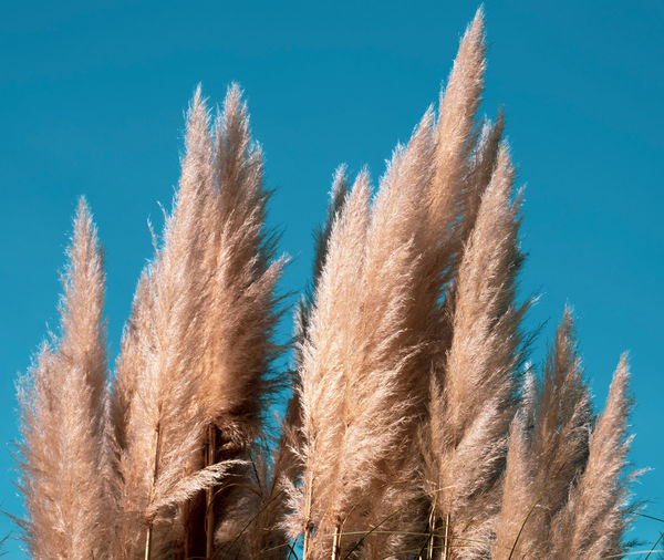 Low angle view of reeds against blue sky