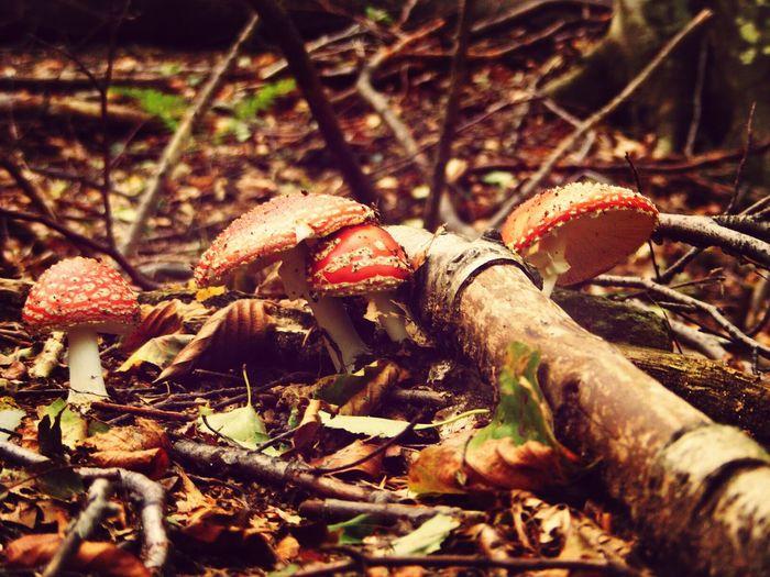 Romania Valiug Crivaia Poisonous Mushrooms