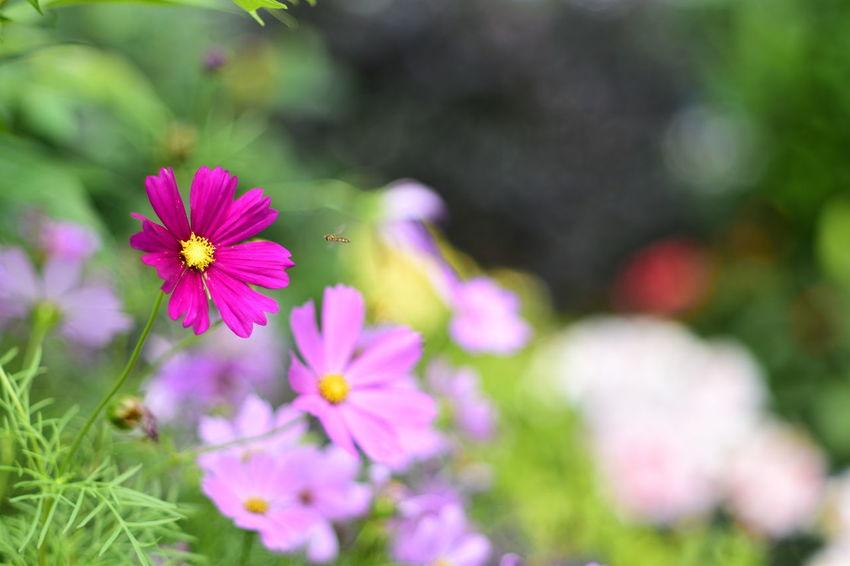 cosmos flowers and bee EyeEm Best Shots EyeEm Nature Lover EyeEm Gallery Eyeem4photography Beauty In Nature Flower Head Flower Cosmos Flower Pink Color Petal Purple Close-up Plant Crocus In Bloom Blooming Pollen