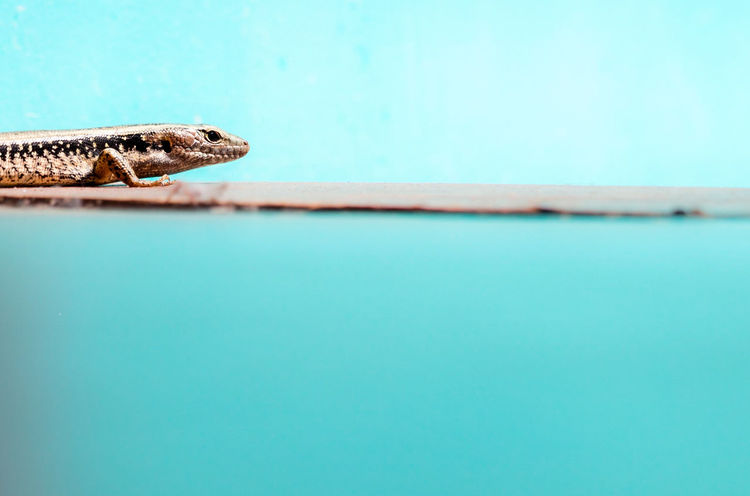Blue One Animal Animal Themes Reptile Animals In The Wild Animal Wildlife Close-up Swimming Pool No People Nature Lizard Modern Sleek Smooth Clean Australian Animal Aqua EyeEmNewHere Color Block Perspectives On Nature