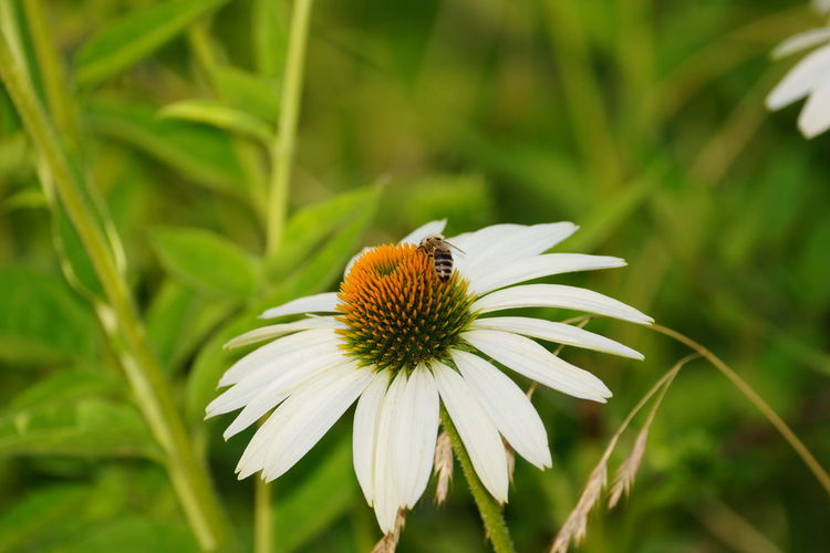 Close-Up Of Bee On White Coneflower