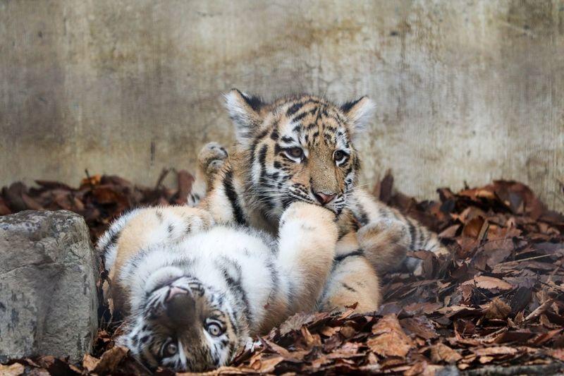 Tiger Zoo Amur
