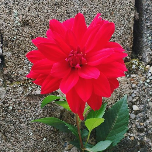 Flower Petal Flower Head Red Fragility Day High Angle View Plant No People Outdoors Nature Growth Beauty In Nature Close-up Freshness Blooming Flowers 🌸🌸🌸 Flowers,Plants & Garden Nature Beauty In Nature Plant Flowerlovers Flowers Grandmothersgarden Grandmas Garden