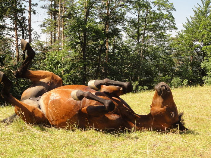 Happy Face Closed Eyes Zoology Sunny Day Streching Side View Relaxation Peasture Outdoors One Animal Mammal Horse Rolling Horse Relaxing Horse Freedom Forest EyeEm Nature Lover Day Carefree Animal Themes Animal Balance Horse Having Fun My Favorite Photo