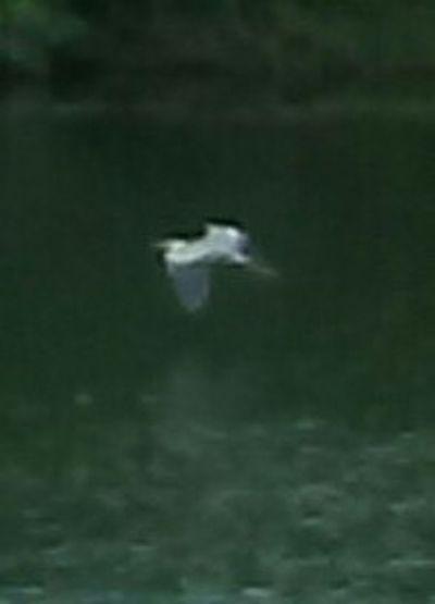 Great Blue Heron 6/7/17