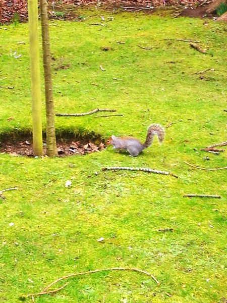Early Spring Rodent Squirrel Feeding Squirrel Park Bushy Tailed Squirrel Staked Tree Animal Themes Grass Green Color One Animal High Angle View Day Nature No People Outdoors Animal Wildlife Mammal