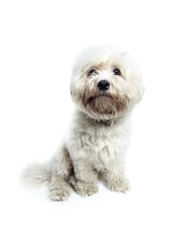 Animal Themes Bolognese Cute Dog Domestic Animals Front View Indoors  Looking At Camera Mammal No People One Animal Pets Portrait Sitting Studio Shot White Background White Color