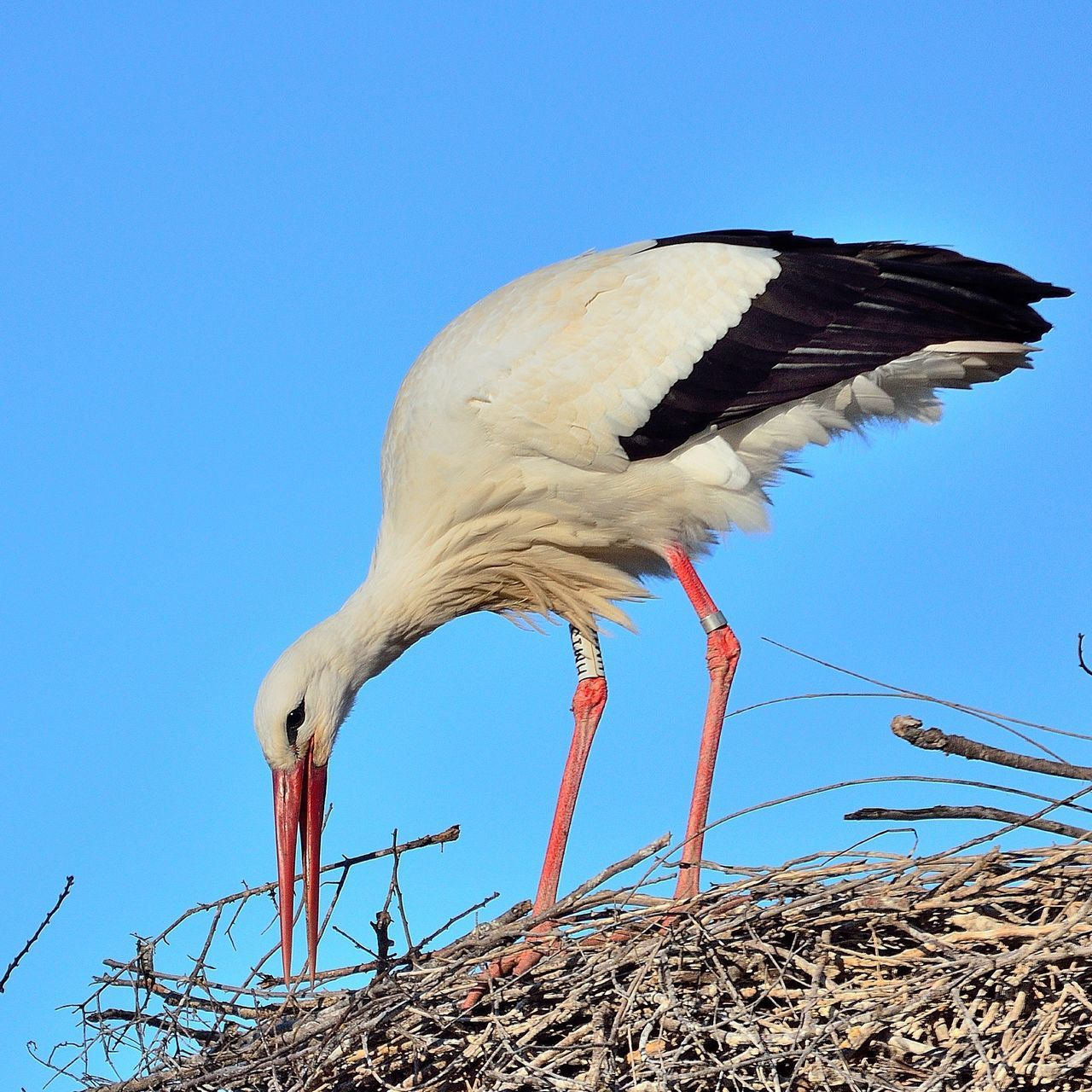 bird, animals in the wild, animal themes, clear sky, stork, white stork, animal wildlife, no people, nature, day, blue, outdoors