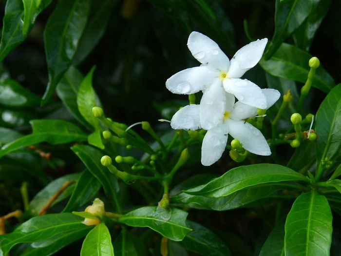 Leaf Plant Green Color Flower Living Organism Nature Close-up No People Outdoors Beauty In Nature Biology Plant Part Fragility Day Flower Head White Flower Star Flower Garden Plants Beauty In Nature Growth Nature Plant