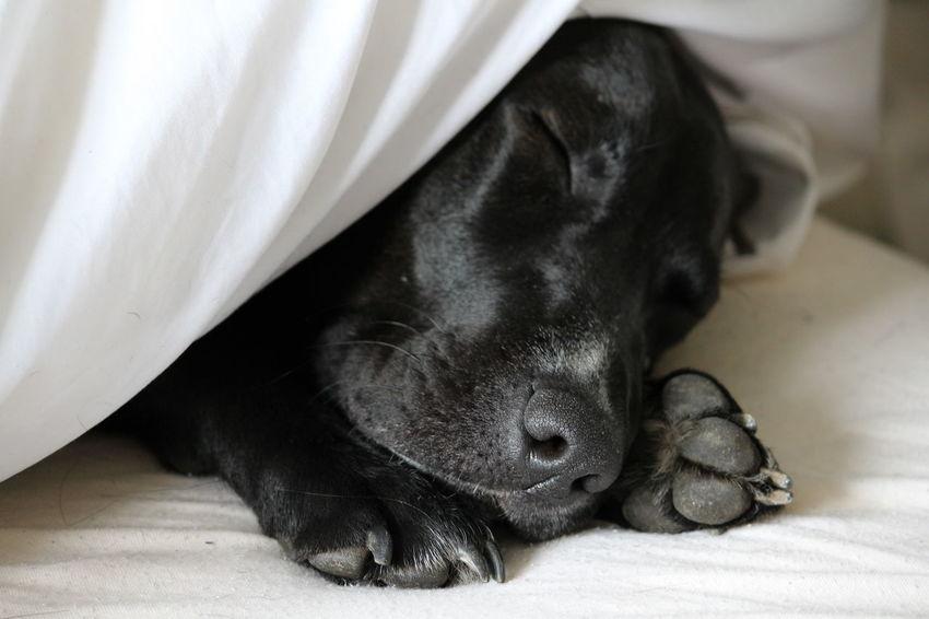 #BedTime #blacklab #Chillin #dog #dog #puppy #pup #TagsForLikes #cute #eyes #instagood #dogs_of_instagram #pet #pets #animal #animals #petstagram #petsagram #dogsitting #photooftheday #dogsofinstagram #ilovemydog #instagramdogs #nature #dogstagram #dogoftheday #lovedogs #lovepuppies #Dog #pet #Labrador #Pets #sleepy #sleepy Pup Black Color Dog Domestic Animals Pets Relaxation