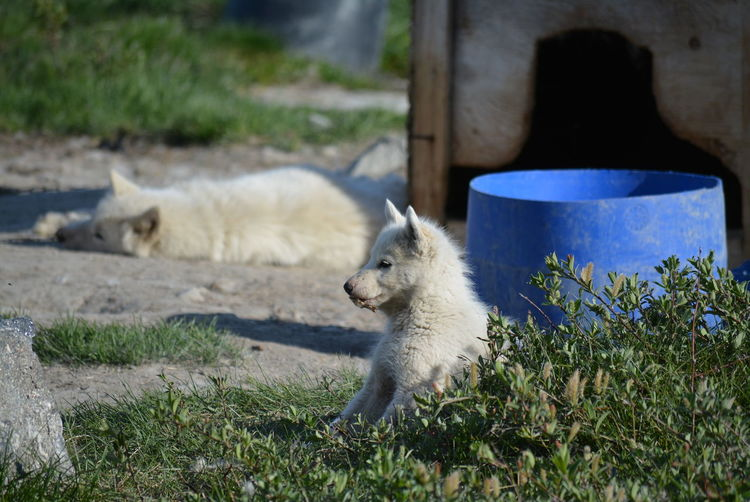 Ilulissat, Greenland - July, sled dog / husky puppy in summer | sledge dogs / huskies Dog Love Husky Sled Dog Greenland Animal Working Animal Dog Summer Outdoors Scenery Tradition Day Sun Fleecy Fluffy Dogs Dogslife Puppy Puppies Sitting Mammal Animal Themes Grass Domestic Animals Domestic
