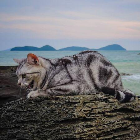 Chaba cat บ้านแมวหนวด แมว Cats Chill Holiday Beach Sea Sky Sunset Clouds Neko Stone Amzingthailand Phuket Thailand Trip Travel Island Smile Nikon