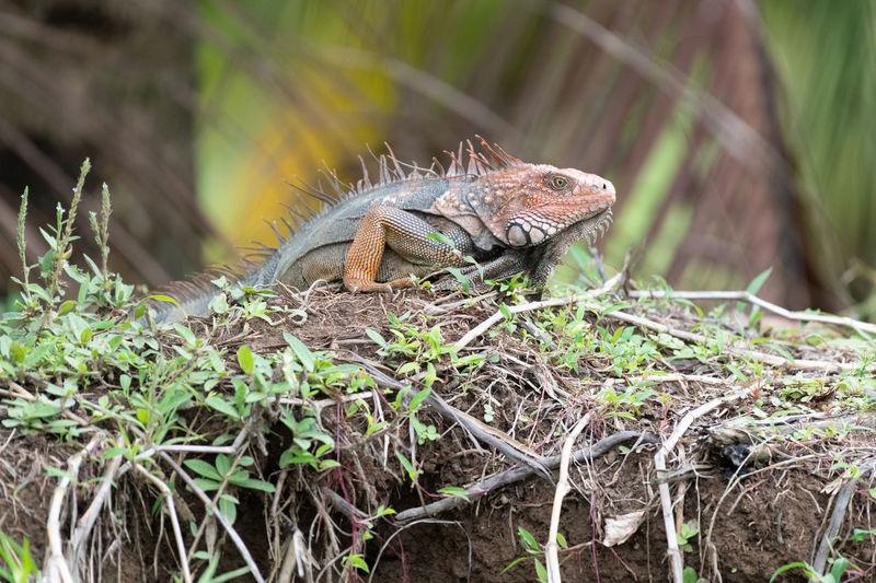 Close-up of a lizard on land