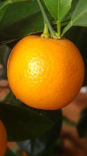 Not an Orange. It`s a Calamondin, grew by my mom. l home Lahad Datu Sabah Malaysia l 3rd August 2016 l 8:52:02 AM l Plant Fruit Orange Color Calamondin