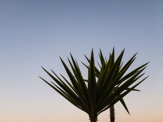 Palm Silhouette Yucca Beauty In Nature Clear Sky Close-up Copy Space Day Freshness Growth Nature No People Outdoors Plant Sky Sunset