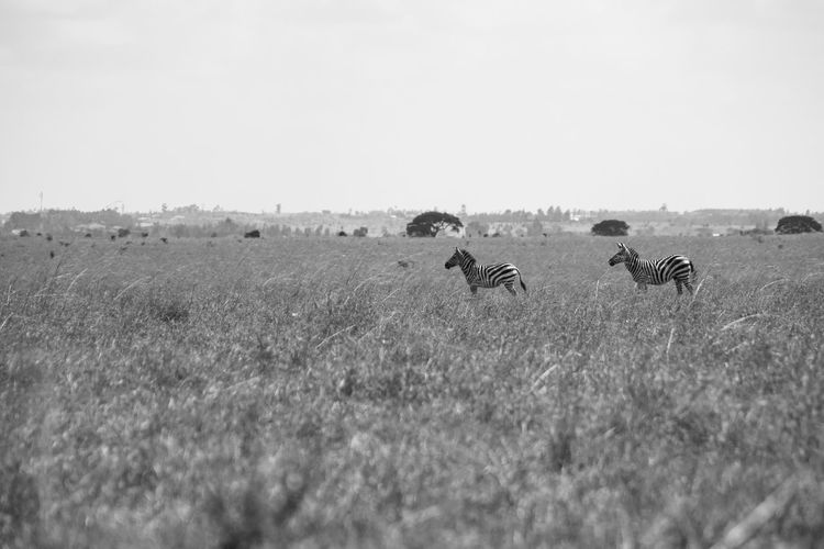 Field Land Group Of Animals Sky Animal Animal Themes Plant Nature Mammal Landscape Animal Wildlife Grass Growth Clear Sky Beauty In Nature Outdoors No People Herd Zebra Blackandwhite