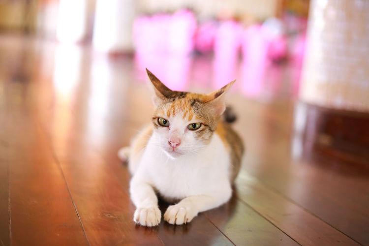 Portrait of cat sitting on hardwood floor