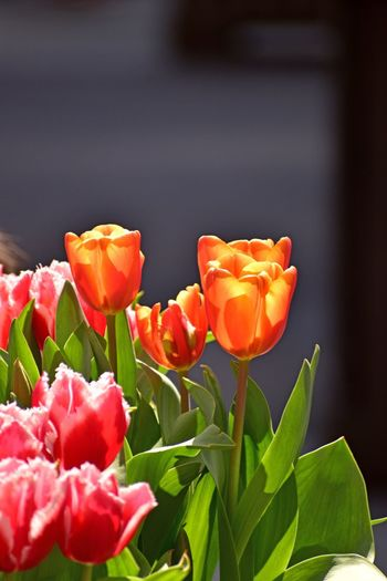 Tulip Tulips Orange Tulip Tulips Orange Flower Flower Flowering Plant Plant Freshness Close-up Petal Vulnerability  Fragility Growth Flower Head Beauty In Nature Nature Orange Color No People Focus On Foreground Plant Part Leaf Inflorescence Red Day