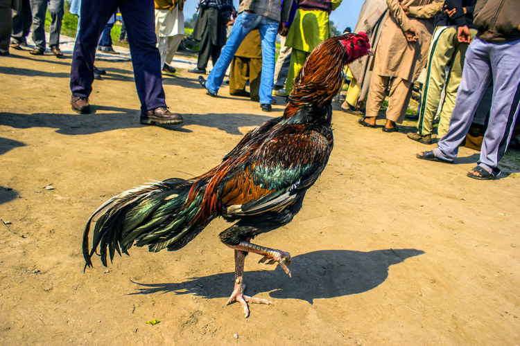 Rooster walk in fighting ring Iftikhar Iftikhar Photography Iftikhar Images Lahore Punjab Pakistan Rooster Village Rooster Rooster Walk Rooter Contest Rooster Competition Vertebrate Bird Day Livestock Domestic Animals Male Animal Chicken Sunlight Chicken - Bird Shadow Group Of People Nature Low Section Men Human Body Part Feather  Peacock Outdoors