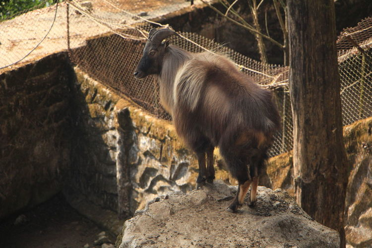 High angle view of bighorn sheep on cliff at zoo