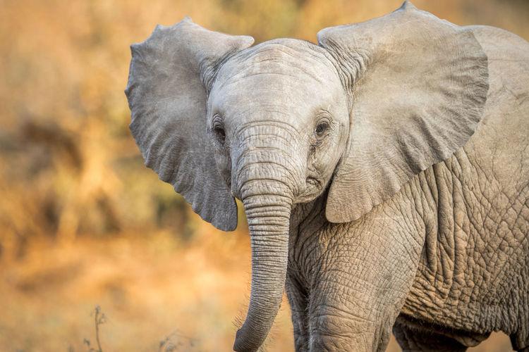 Elephant calf on field