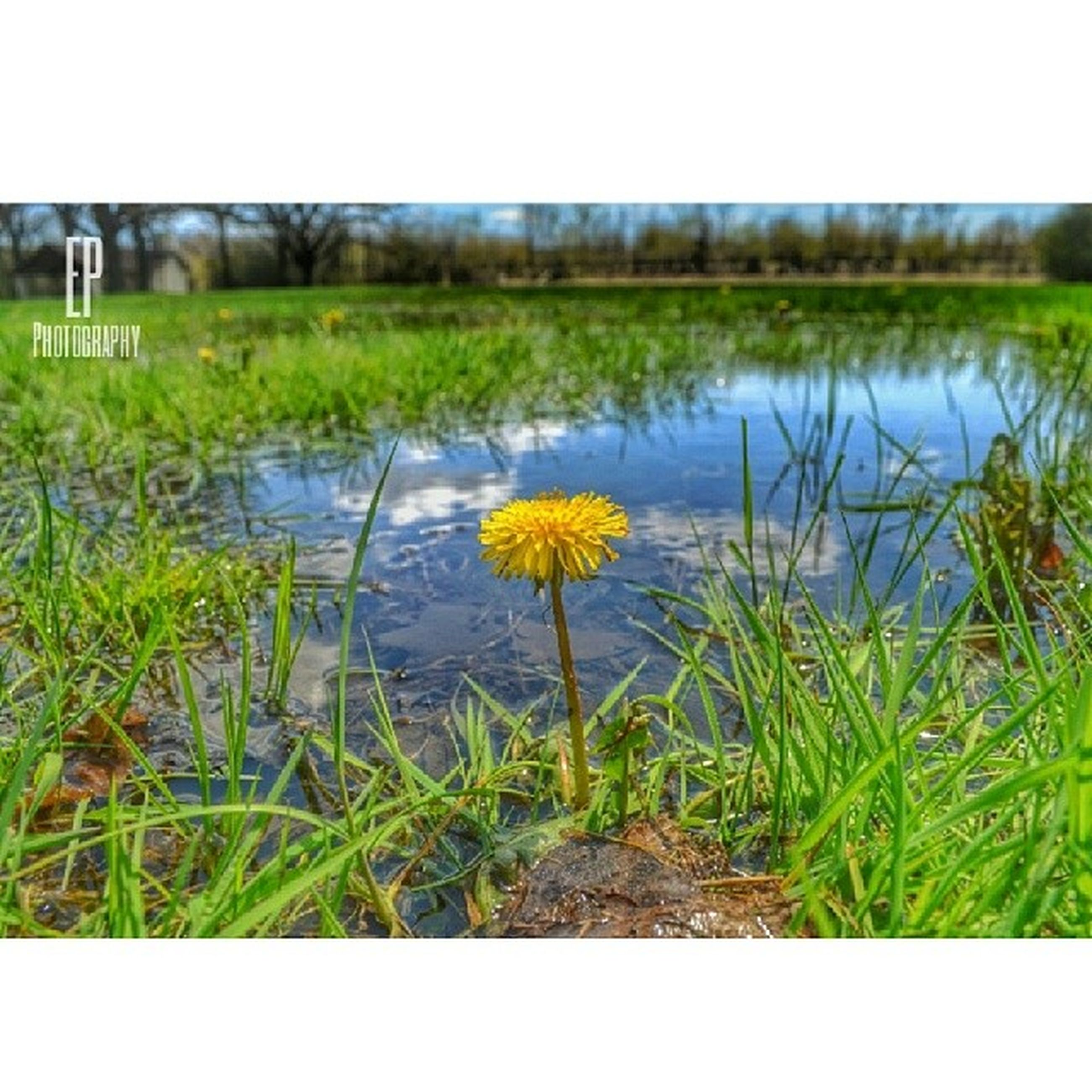 flower, grass, growth, water, plant, field, nature, beauty in nature, fragility, freshness, lake, tranquility, tranquil scene, clear sky, day, outdoors, stem, wildflower, auto post production filter, scenics