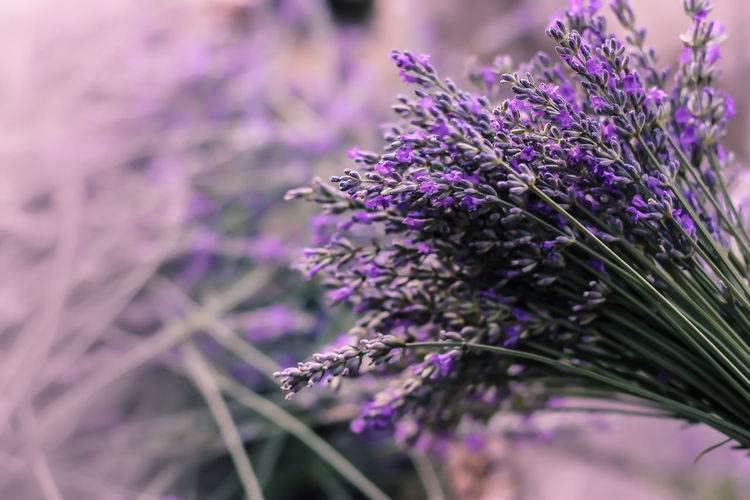 Close-Up Of Lavender Growing Outdoors