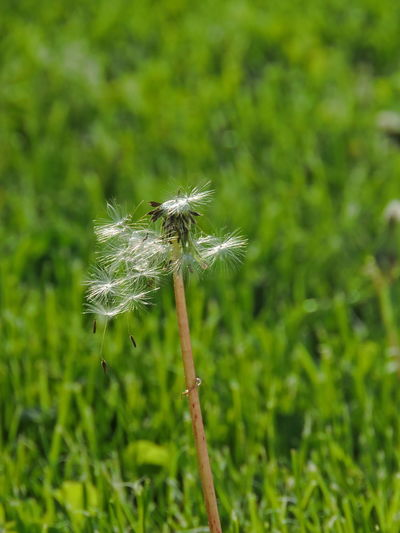 Dandelion Seeds Plant Growth Dandelion Beauty In Nature Fragility Flower Freshness Flowering Plant Nature Vulnerability  Close-up Green Color Focus On Foreground Plant Stem Field Day Land Dandelion Seed No People Uncultivated Softness Outdoors Flower Head