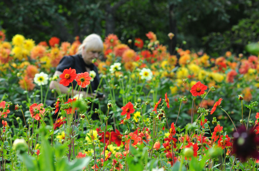Flowerbed with Dahlias. woman walking in background Blooming Flower Flower Head In Bloom Dahlia DahliaGarden Dahlia Flowers Dahlie Dahliaflowers Dahlias Woman Visitor