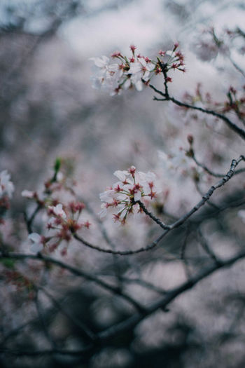 Beauty In Nature Blooming Blossom Botany Branch Cherry Tree Close-up Day Flower Focus On Foreground Fragility Freshness Growth In Bloom Nature No People Outdoors Petal Pink Color Season  Selective Focus Sky Tree Twig Ultimate Japan