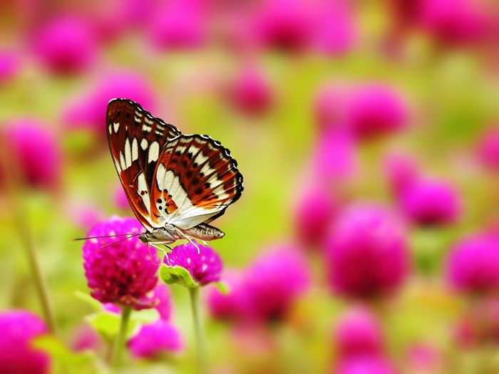 Close-up of butterfly pink flower