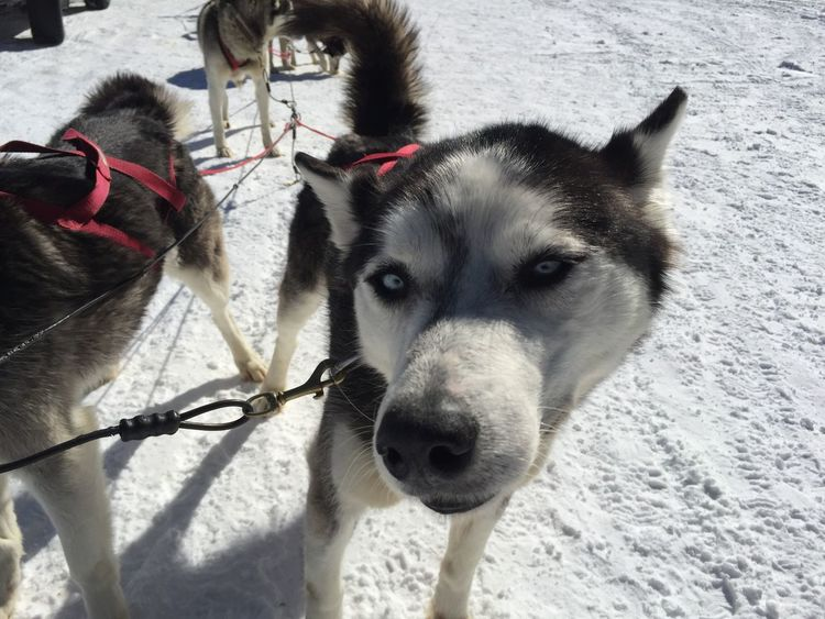 Dogsledding! Sled Dog Domestic Animals Animal Themes Mammal Dog Snow Looking At Camera Pets Winter Siberian Husky Working Animal Portrait Cold Temperature Outdoors No People Day Nature