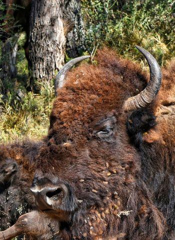 Nature Nikonphotographers Nikon Dslr Texasphotographer Animal Nikon_photography This Week On EyeEm. Animal Wildlife Animals In The Wild Bison, Buffalo, Blackbirds, Wyoming, Wild, Animal, Horns, Fur, Raw, Animal Themes Bison Group Bison