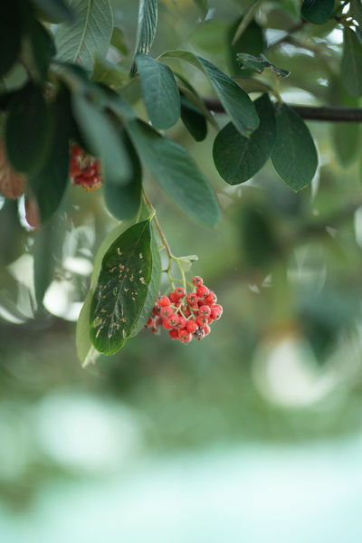 Plant Part Leaf Growth Fruit Berry Fruit Freshness Plant Food And Drink Healthy Eating Day Food Beauty In Nature Nature Close-up Red Green Color Focus On Foreground No People Tree Flower Outdoors Rowanberry