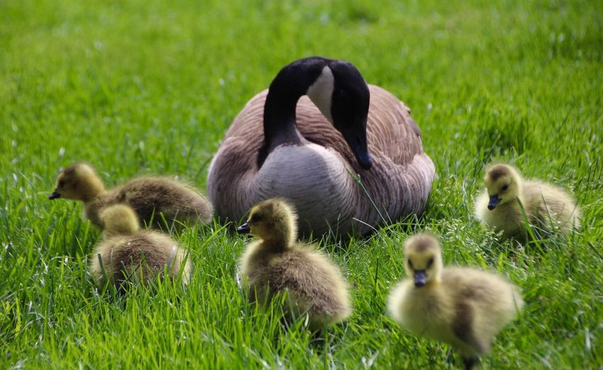 Grass Young Animal Animal Themes Young Bird Gosling Animals In The Wild Nature Bird Day Animal Wildlife No People Outdoors Togetherness Lake Goose Water Beauty In Nature