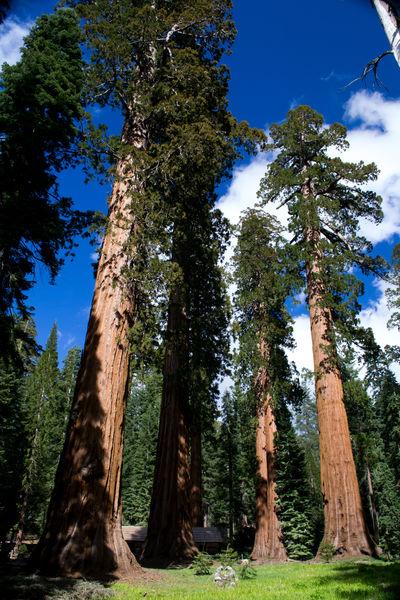 Beauty In Nature California Redwoods Mariposa Redwoods Mariposas Natural Beauty Nature Perfect Redwood Trees Redwoods