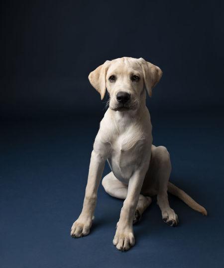 Portrait of dog sitting against black background