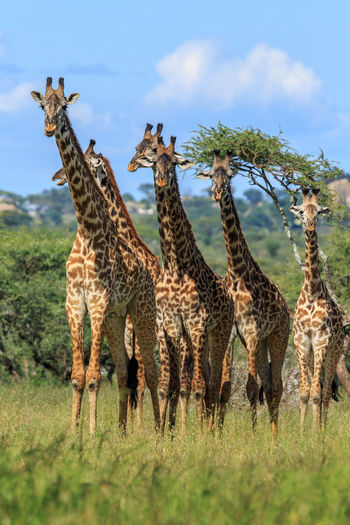 A herd of Masai giraffe in the Serengeti National Park, Tanzania. This one was being led by a huge male at least 19-20 feet tall. The Masai giraffe (Giraffa camelopardalis tippelskirchi), also spelled Maasai giraffe, also called Kilimanjaro giraffe, is the largest species of giraffe native to East Africa. Giraffa Camelopardalis Tippelskirchi Giraffa Camelopardalis Kilimanjaro Giraffe Masai Giraffe Nature Photography Out Of Africa Serengeti National Park Wildlife & Nature Wildlife Photography Africa Animal Animal Photography Animal Themes Animal Wildlife Animals In The Wild Beauty Giraffe Giraffe Herd Herd Mammal Nature Outdoors Safari Animals Wild Wildlife