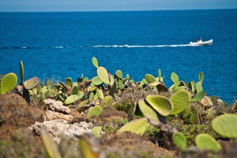 Cacti Growing By Sea