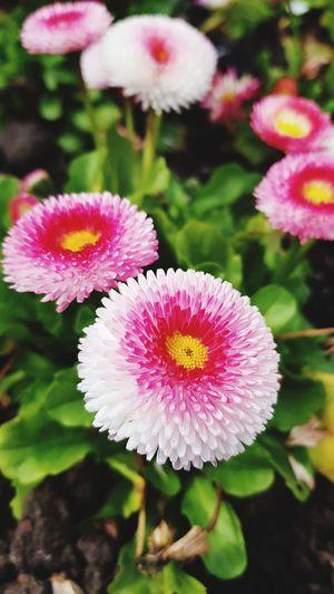 Flower Head Flower Pink Color Petal Close-up Plant Pollen Blooming In Bloom