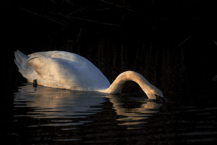 Swan lit by sunset colors. Animal Themes Animal Wildlife Animals In The Wild EyeEm Best Shots EyeEm Nature Lover Nature No People One Animal Outdoors Sunset Colors Sunset, Swan Swan, Animal, Nature Swimming Water