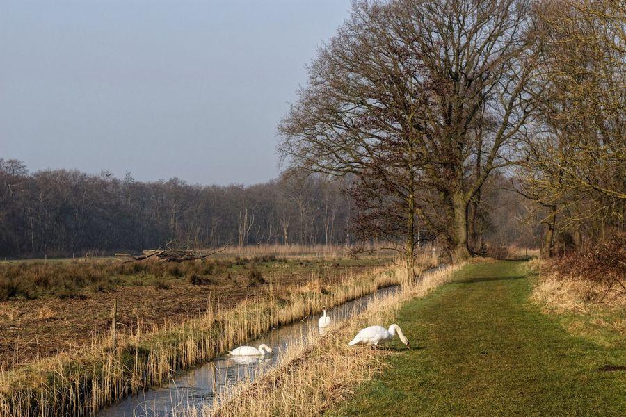 Treetastic Swans Dutch Landscape Netherlands Management By Walking Around Treegasmic Tuesday