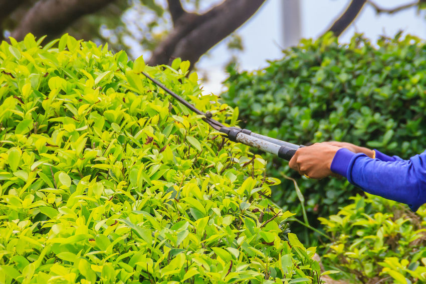 The gardener is cutting bush with scissors In the garden. The worker is trimming bushes with garden scissor. Bushes And Trees Cutting Gardener Gardening Scissor ScissorCut! ScissorHands Scissors Trimming Sky And Tree Adult Agriculture Bush Bushes Cutting Grass Cutting Tool Cutting Trees Cutting Wood Day Focus On Foreground Freshness Garden Garden Photography Garden Scissors Gardener Gardening Gardener Worker Gardeners Life Gardening Gardens Green Color Growth Hand Holding Human Body Part Human Hand Leaf Lifestyles Nature One Person Outdoors Plant Plant Part Real People Trimming Trees Trimmingthetree