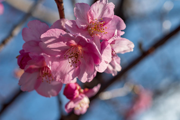 Flowering Plant Flower Fragility Plant Vulnerability  Growth Freshness Beauty In Nature Close-up Pink Color Blossom Petal Branch Pollen Springtime Nature Tree Selective Focus Inflorescence No People Cherry Blossom Flower Head Outdoors Cherry Tree Spring