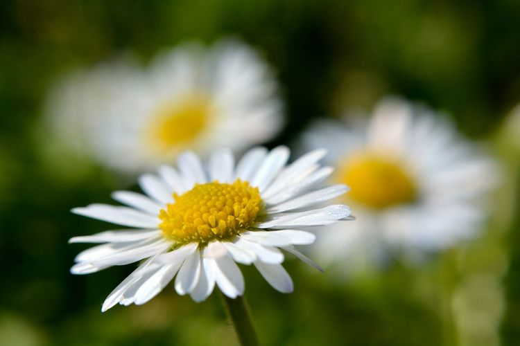 Daisy Flower Flowering Plant Freshness Plant Fragility Vulnerability  Beauty In Nature Close-up Petal Growth Flower Head Inflorescence White Color Daisy Yellow No People Nature Focus On Foreground Selective Focus Pollen Outdoors EyeEm Best Shots EyeEm Nature Lover EyeEm Selects Macro Photography