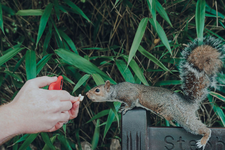 Man feeding a piece of bread to a squirrel and filming it on his phone in holland park, london, uk.