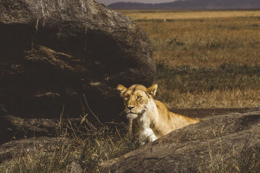 Lion on the lookout in the serengeti Serengeti National Park Tanzania Africa Animal Animal Wildlife Animals In The Wild Big Cat Big Five Carnivore Cat Feline Lion - Feline Lion Hunting Lioness Mammal Nature No People One Animal Outdoors Safari Serengeti Serious Look
