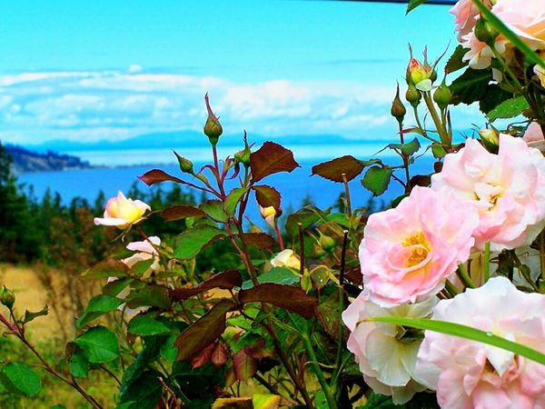Roses over Puget Sound 1 Pink Roses Scenery Shots Scenic Nature Natural Beauty Nature_collection Flower Porn Flower Collection Flowers,Plants & Garden Flowers, Nature And Beauty