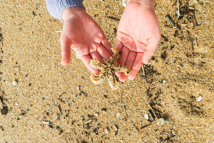 high angle view on two female hands holding a seastar at the beach Female Hand Beach Sand Seastar Porto Portugal Sea Animal Finding Found Holding Human Hand Beach Sand Close-up